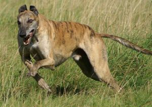 800px-Greyhound_running_brindle