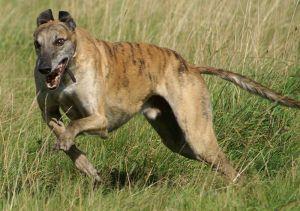800px-Greyhound_running_brindle